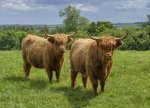 3424597-two-examples-of-highland-cattle-a-scottish-breed.jpg